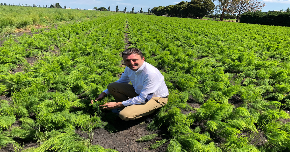 Asparagus Production in New Zealand – Part 4